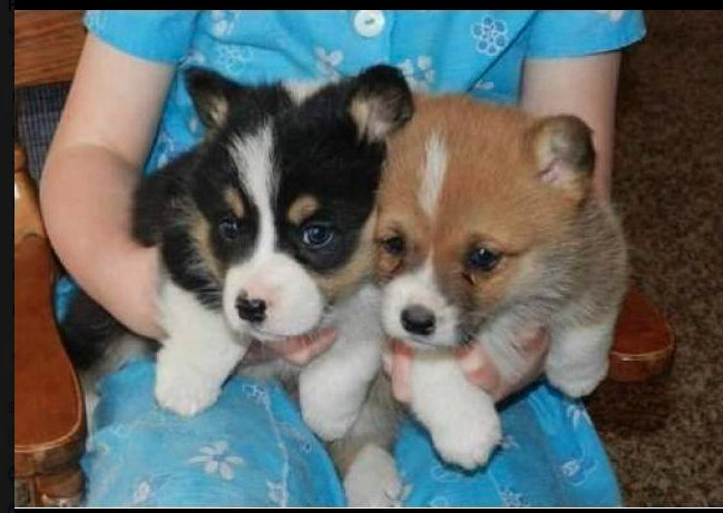 Missouri Healthy Corgi Puppies For Sale Pets And Animals